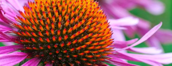 Echinacea flower - Tom Matteucci - Santa Barbara
